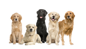 Labradore retrievers: a diverse audience